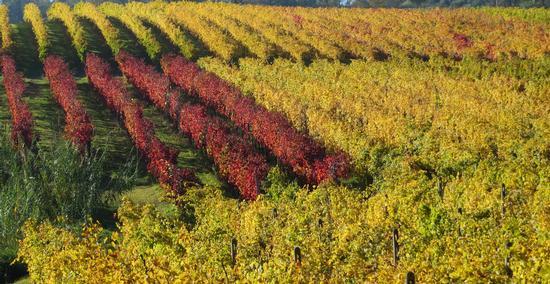 Magnifico autunno - Bertinoro (1364 clic)
