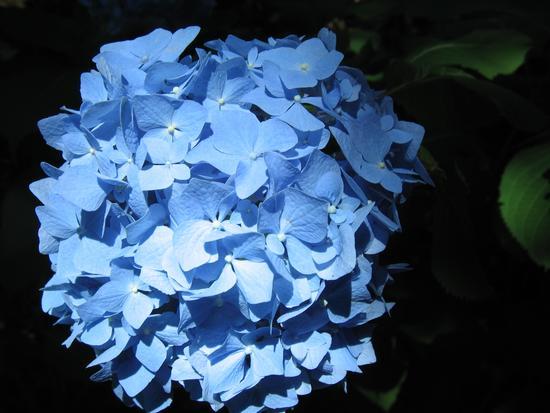 Ortensia azzurra (villa Carlotta) - Tremezzo (3081 clic)