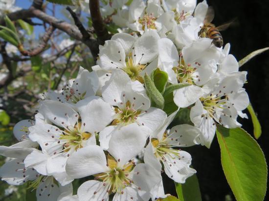 fiori di Pero selvatico - Castrocaro terme (874 clic)
