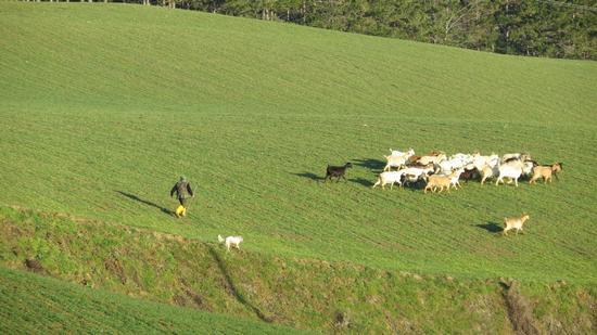 pastore di capre con cane - Rocca san casciano (731 clic)