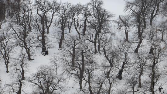 Castagni d'inverno - Premilcuore (957 clic)