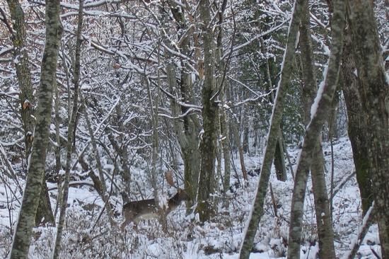 Daino nel bosco - Corniolo (1948 clic)
