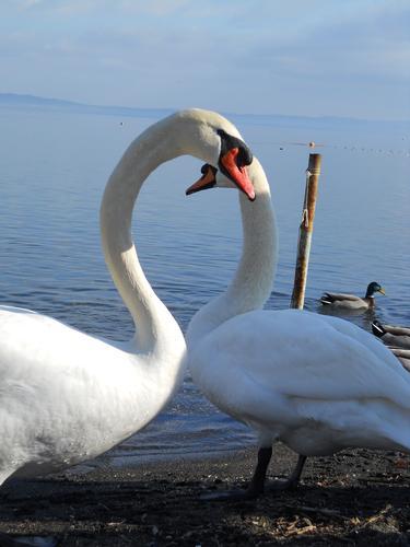 il lago dei cigni - Bracciano (2042 clic)