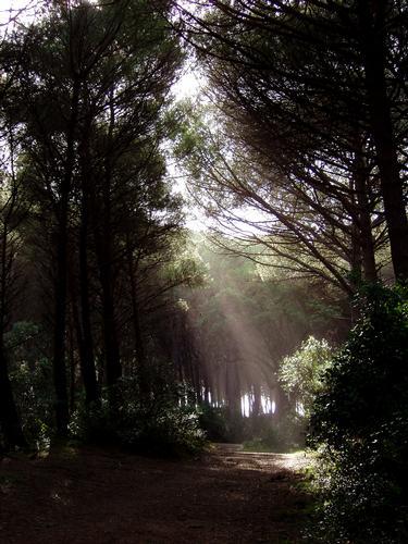 La luce nel pineto - Cecina (2393 clic)