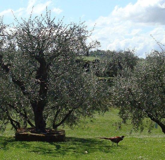 fagiano in giardino - Fano (2284 clic)