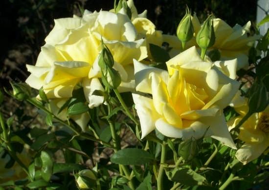 Rose - Caccamo (2948 clic)