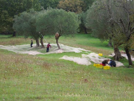 La raccolta delle olive per l'olio extravergine alle Stalle di Giurò nella Tenuta  - Roccagloriosa (3469 clic)