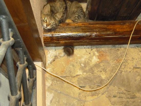 Gattina diabolica: come avrà fatto a salire sulla trave? - Roccagloriosa (2337 clic)