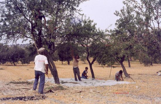 Abbacchiatura delle mandorle - Palma di montechiaro (306 clic)