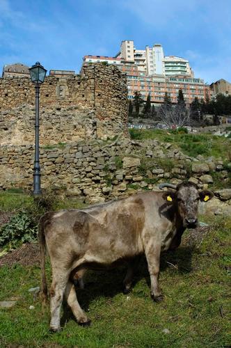 Una Mucchina a Troina (3304 clic)