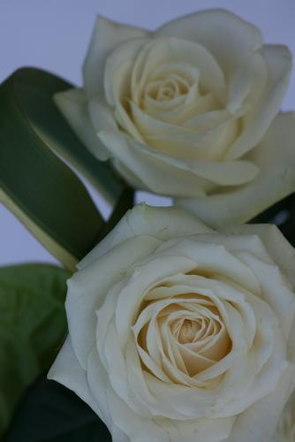 rosa bianca - Feltre (1748 clic)