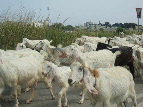 Le caprette vanno a passeggio..... - Brindisi (3228 clic)