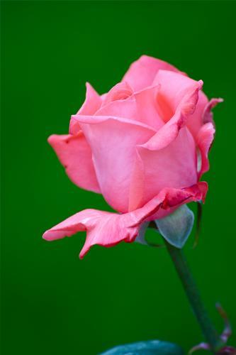 macro rosa (459 clic)
