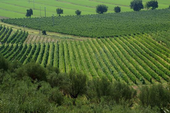 vigneti umbri - Perugia (5422 clic)