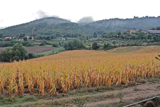 campo di grano vicino lago di corbara  - Todi (2185 clic)