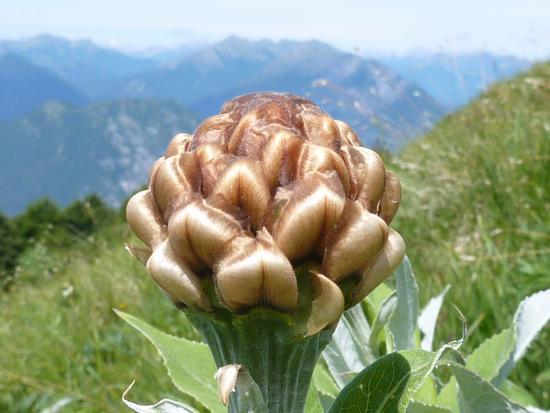 fiore fotografato sul m. cuarnan - Artegna (2005 clic)