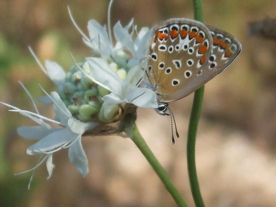 Farfalla a testa in giù...... - Popoli (2700 clic)