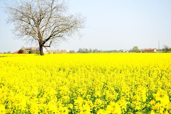 Distesa di fiori Gialli - San cesario sul panaro (1003 clic)