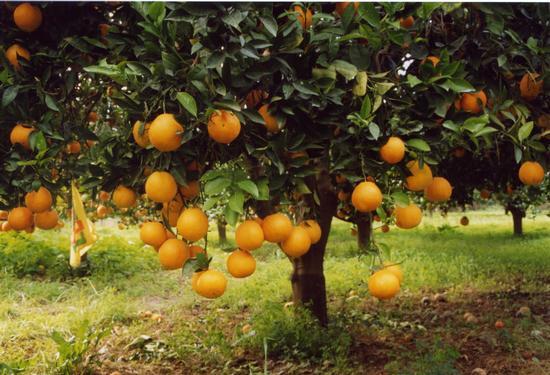 Arance di sicilia - Lascari (2903 clic)