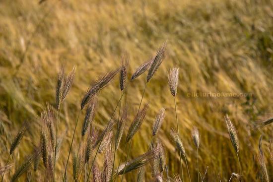 Giallo oro - Santeramo in colle (2163 clic)