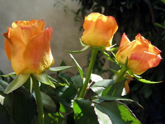 Rose arancioni 1 (1602 clic)