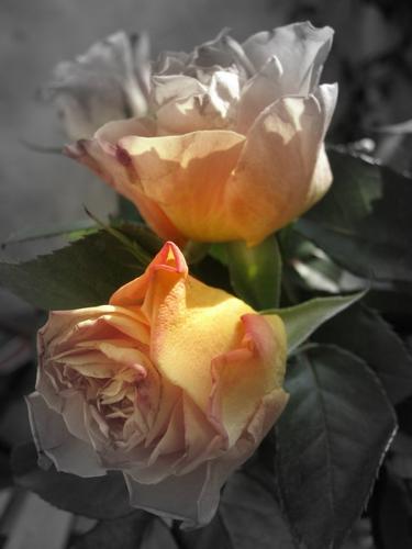 Rose arancioni 2 (445 clic)