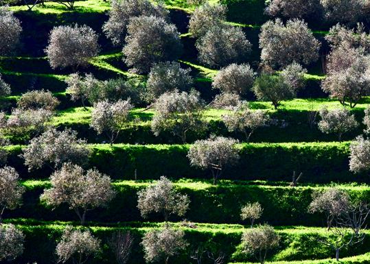Uliveti - Gioia tauro (3848 clic)