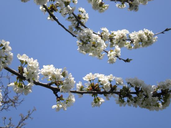 ciliegio in fiore - San secondo parmense (568 clic)