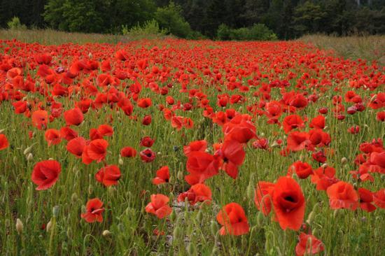 campo di papaveri rossi - Stenico (6860 clic)