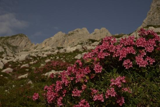 Rododendri in val Ambiez - San lorenzo in banale (1132 clic)