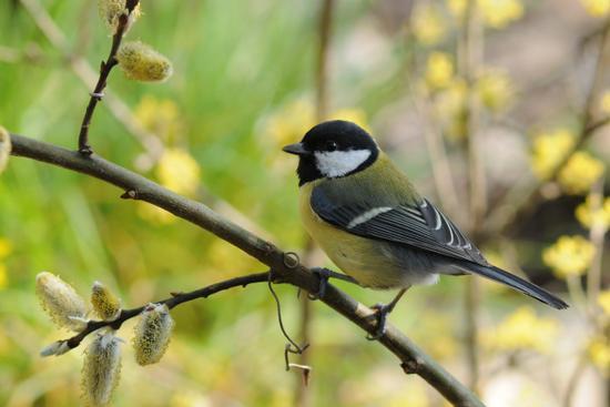 cinciallegra a primavera - Stenico (2597 clic)