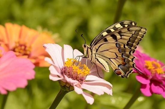farfalla macaone - San lorenzo in banale (1855 clic)