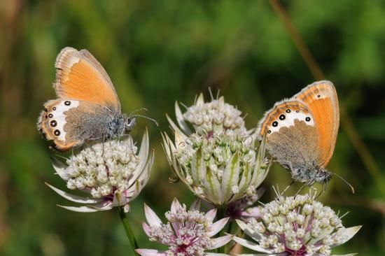 farfalle - San lorenzo in banale (2419 clic)