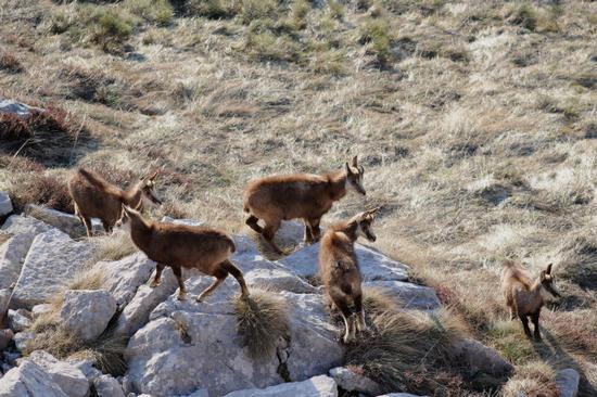 giovani camosci sulle montagne di San Lorenzo - San lorenzo in banale (3454 clic)