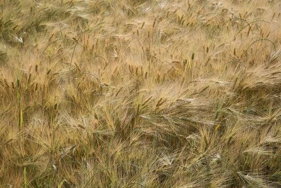 grano - Tellaro (2299 clic)