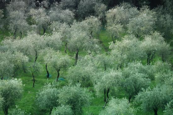 ulivi - Tellaro (2297 clic)