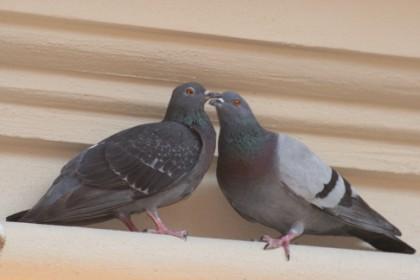 Coppia di piccioni - Chieti (3104 clic)