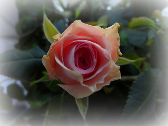 rosa...... (751 clic)