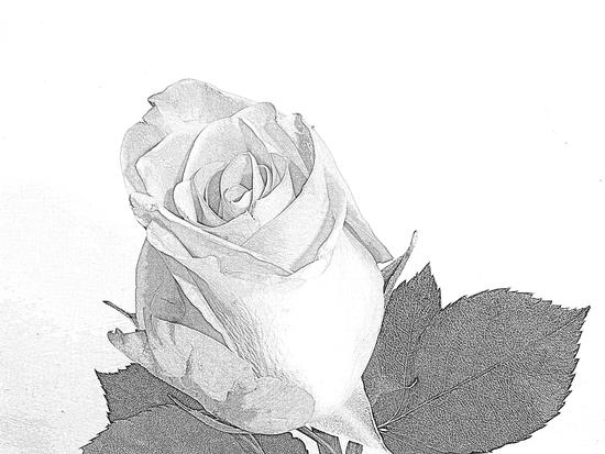 rosa...... (542 clic)