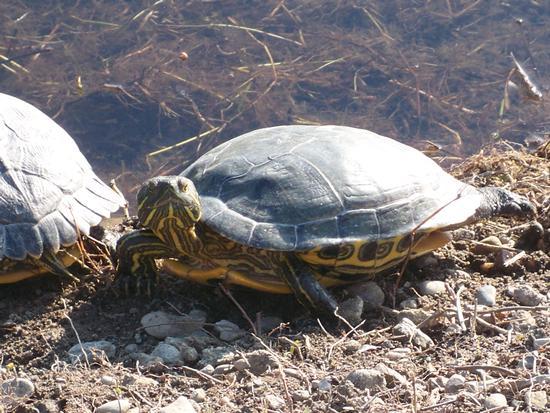 tartaruga (690 clic)