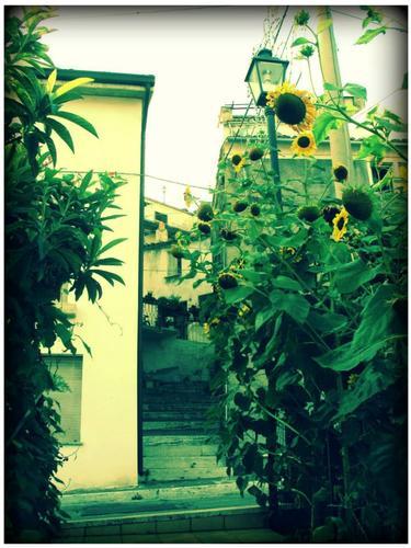 Girasoli - Villa celiera (1078 clic)