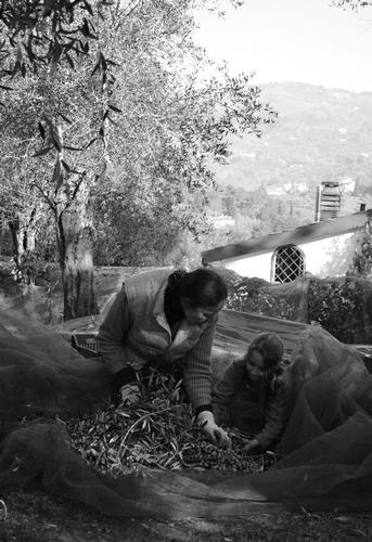 La raccolta delle olive - Buggiano (1289 clic)