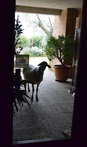 Cucù - Curiose le pecore ad Olivanda B&B - Buggiano (1147 clic)