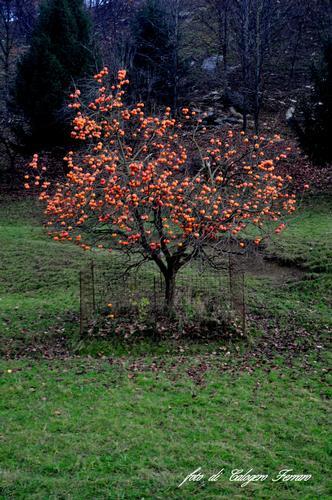 L'albero di Pradalunga (572 clic)