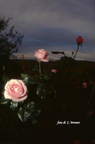LE ROSE DELLA  - Riesi (1970 clic)