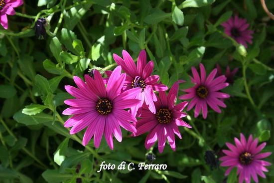 FLORA RIESINA (1798 clic)