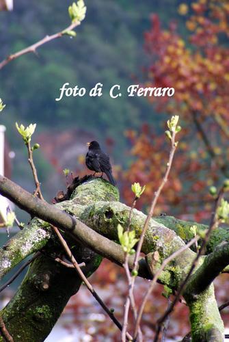 MERLO SU RAMO - Riesi (2497 clic)