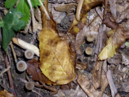In giro a cercare funghi - Sassello (1343 clic)