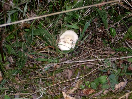 In giro a cercare funghi - Sassello (1105 clic)