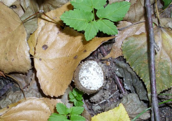In giro a cercare funghi - Sassello (1449 clic)